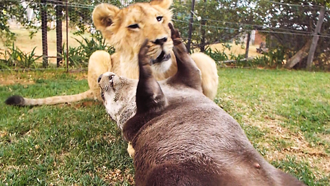 This Young Lioness Is Beast Buddies With An Otter