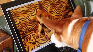 Confused dog battles himself on a laptop screen