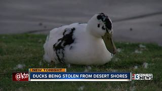 Residents say ducks being stolen from Desert Shores - Video