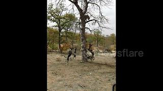 Pack of wild dogs trap snarling leopard in tree in South Africa - Video