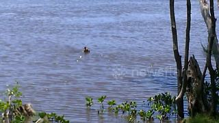 Kangaroo cools down with a dip in Gold Coast, Australia - Video