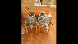 Chubby Raccoons Eat Food From Their Bellies While Lying On A Chair - Video