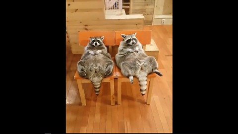 Chubby Raccoons Eat Food From Their Bellies While Lying On A Chair