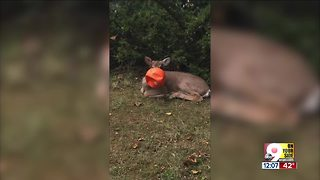 Anderson Township neighbors rescue deer whose head was trapped in plastic pumpkin bucket - Video