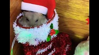 Pudgy Hamster Enjoys Treat in Christmas Stocking - Video