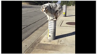 Australian Shepherd loves to parkour during walks - Video