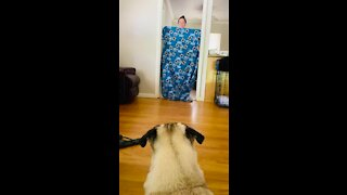 Pug's mind totally blown over owner's disappearing act