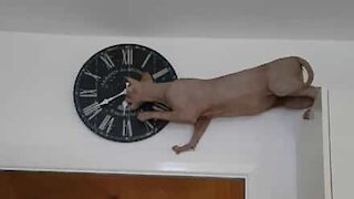 Sphynx cat plays with wall clock
