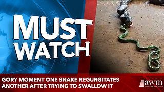 Gory moment one snake regurgitates another after trying to swallow it - Video