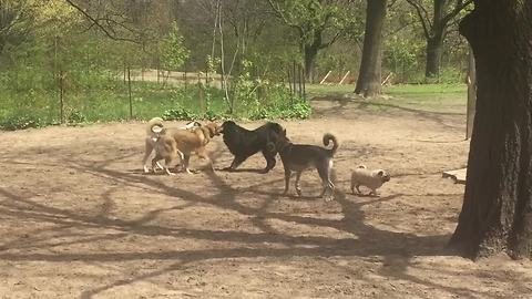 Tiny pug really wants to play with the big dogs!