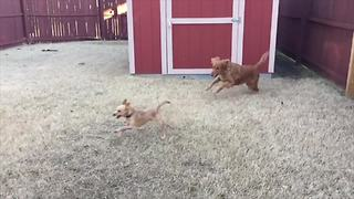 """""""Golden Retriever And Chihuahua Chase Each Other Around Garden"""""""