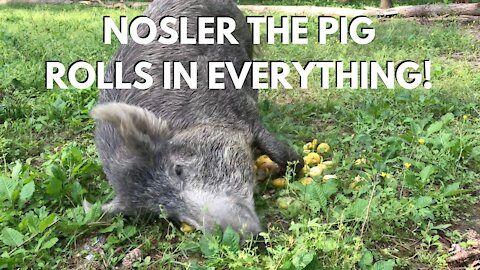 "My Pet ""Feral Hog"" Pig rolls in everything!"