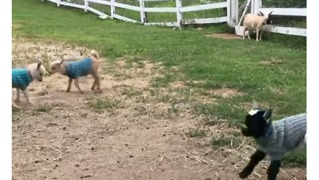 Baby Goats Jump For Joy In Their New Knitted Sweaters - Video