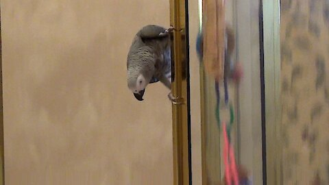 Daring parrot demonstrates how to slide down a shower door