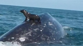 Seal catches a ride on the back of a whale! - Video
