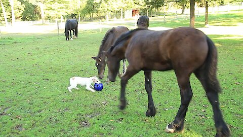 Terrier Gets Ball Stolen From Him By Pair Of Playful Foals