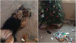 This dog can't contain his curiosity and tears apart Christmas wrapping paper