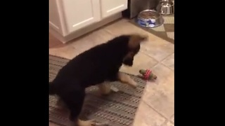 Ice cube is by far puppy's favorite toy - Video