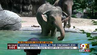 How animals stay cool at the Cincinnati Zoo - Video
