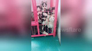 Literal dogpile as husky puppies pile on a white cat - Video