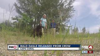 Bald Eagle Released From Crow - Video