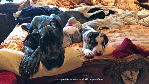 Great Dane and Puppy Play With Toys in Bed