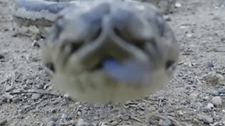 Python Lunges at Camera in Mackay, Queensland - Video