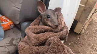 Fireman saves baby joey from Australian wildfires