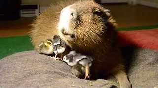 Caring Capybara Minds Some Cute Chicks - Video