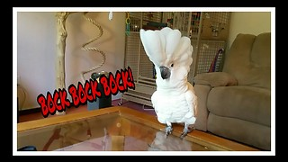 Cockatoo does his best chicken impression