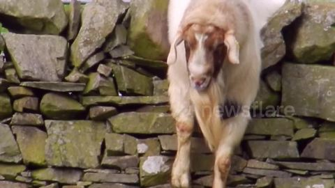 Goat gets himself into a tight situation on stone wall