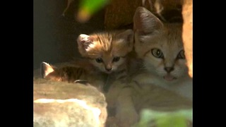 Super Cute Sand Kittens - Video