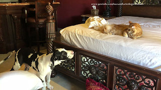 "Dogs and cat ""help"" owner make the bed"