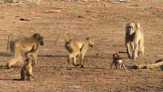 Baboon Infant Learns to Walk and Play With Family - Video