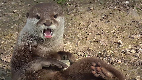 Funny otter fascinated by stones