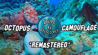 Camouflaged Octopus Changes Color, Texture And Shape In Front Of Camera - Video