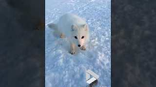 Arctic fox cub encounter - Video
