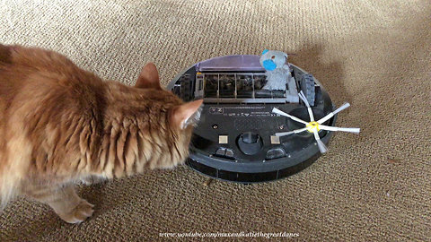 Cat checks out toy mouse eaten by robot vacuum