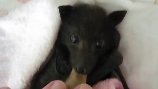 Orphaned Baby Bat Comforted with Pacifier - Video