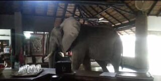 Elephants invade hotel reception in Zambia!