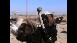 Massive Ostrich Farm - Video