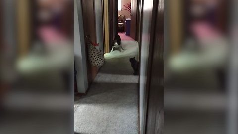 Dog Hides Scared Of Bossy Cat