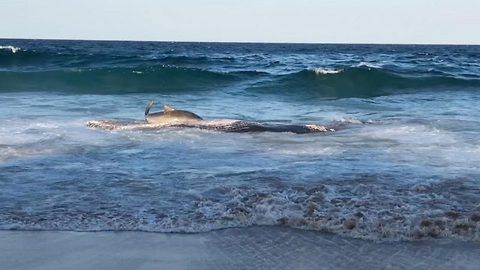 Incredible moment tiger shark breaches itself onto beach to eat whale carcass