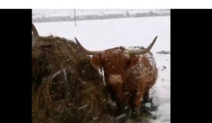 Highland Cattle Continue Munching Despite the Snow in Barnsley