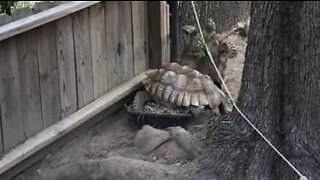 Tortoise tries stepping over friend and suffers the consequences!