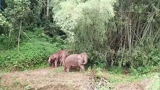 Wild elephant uses hoe to scratch back - Video