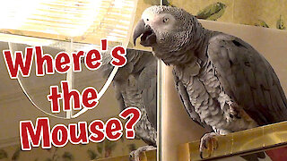 "Talking parrot wants to know ""where's the mouse"""