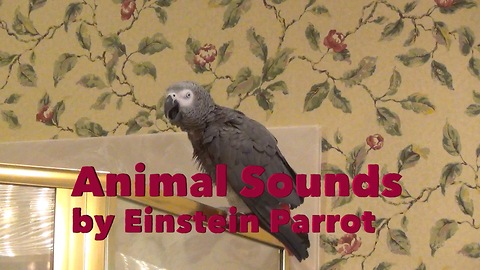 Parrot performs vast array of various animal sounds