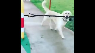 Very smart dog uses the pedestrian crosswalk