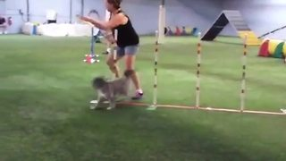 Woman Falls At Dogs' Obstacle Course - Video